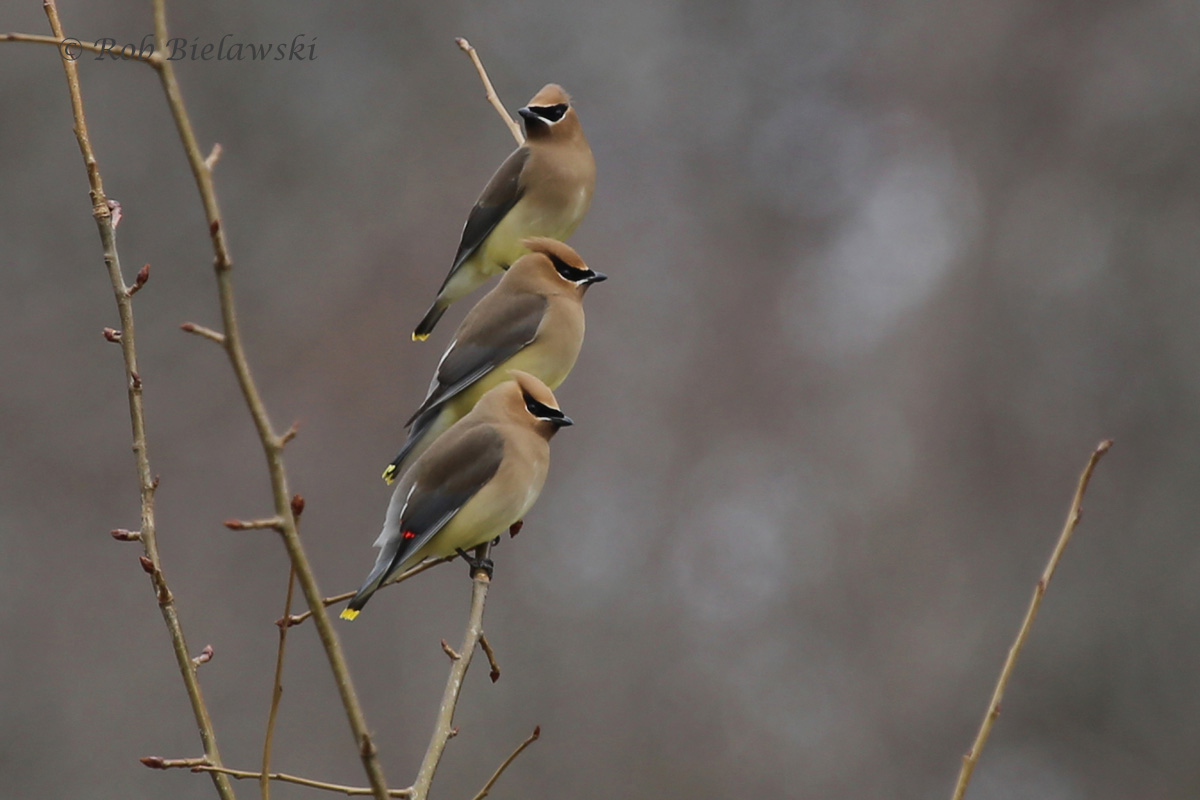 Cedar Waxwings / 5 Mar 2016 / Magotha Road, Northampton County, VA
