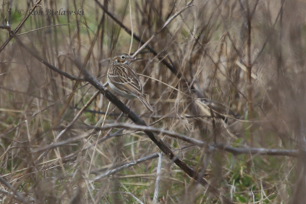 Vesper Sparrow / 5 Mar 2016 / Magothy Bay Natural Area Preserve, Northampton County, VA