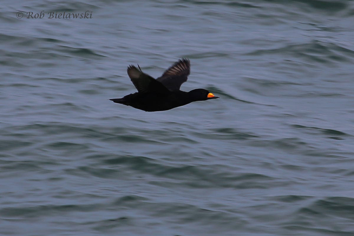 Black Scoter / 6 Mar 2016 / South Chesapeake Island, Northampton County, VA