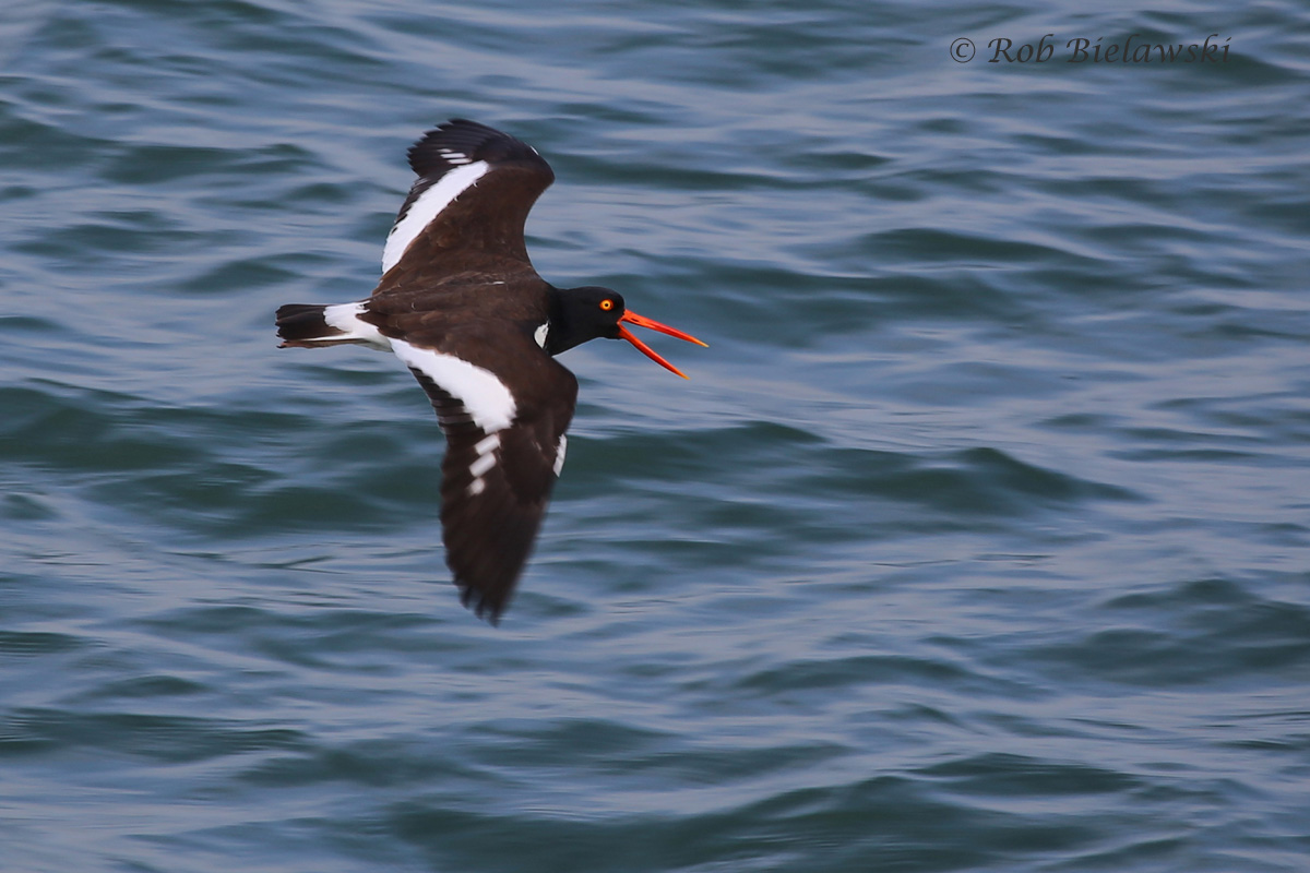American Oystercatcher / 6 Mar 2016 / South Chesapeake Island, Northampton County, VA