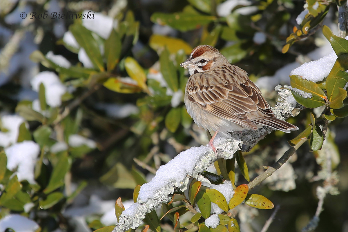 My first rarity of the year, a Lark Sparrow that was seen at Back Bay NWR on Saturday morning!