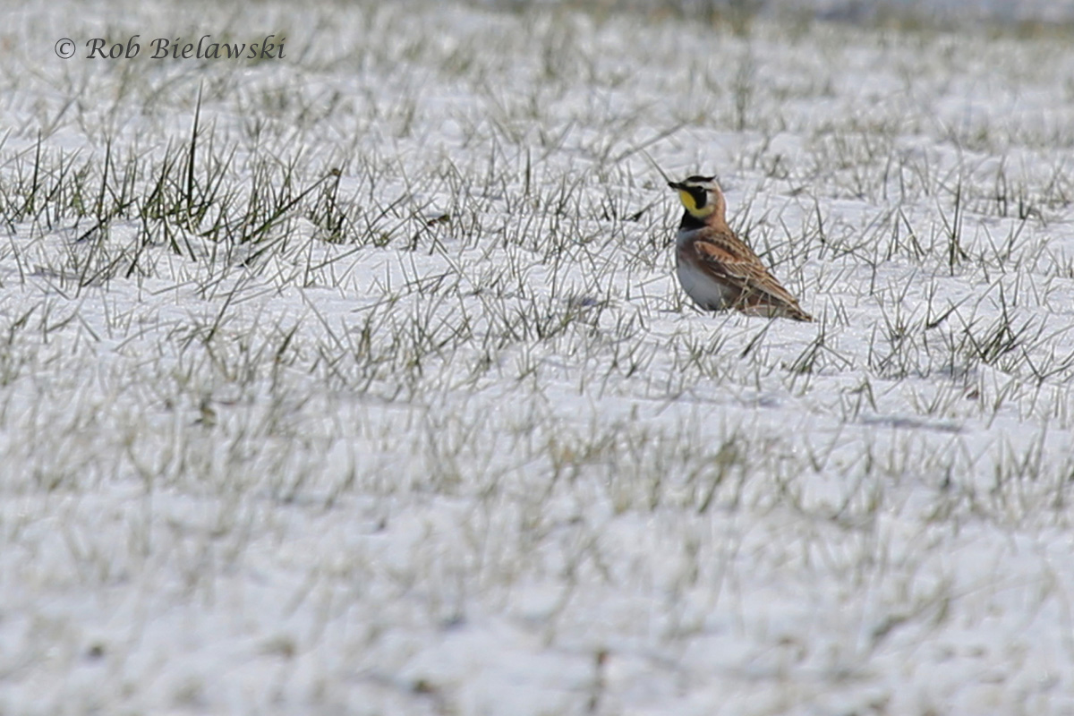 One of a pair of Horned Larks seen off Back Bay Landing Road, once again, the snows makes them much more visible!