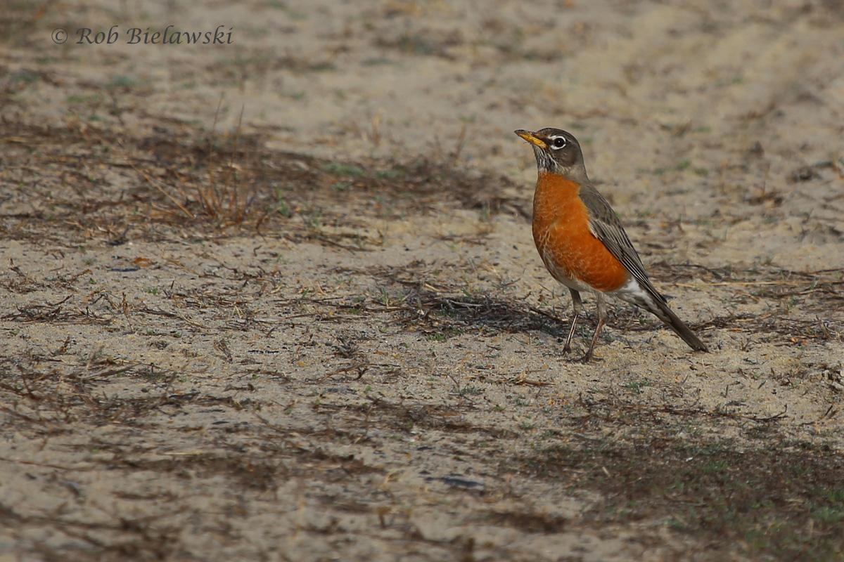 American Robin / 13 Mar 2016 / Back Bay NWR, Virginia Beach, VA
