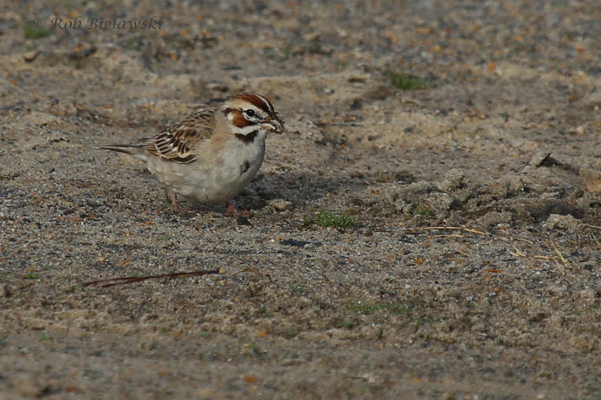 Lark Sparrow / 13 Mar 2016 / Back Bay NWR, Virginia Beach, VA