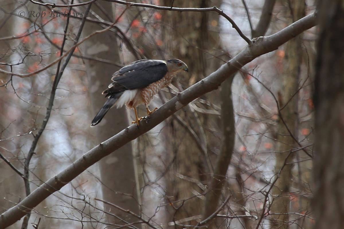 Cooper's Hawk / 13 Mar 2016 / Suffolk, VA