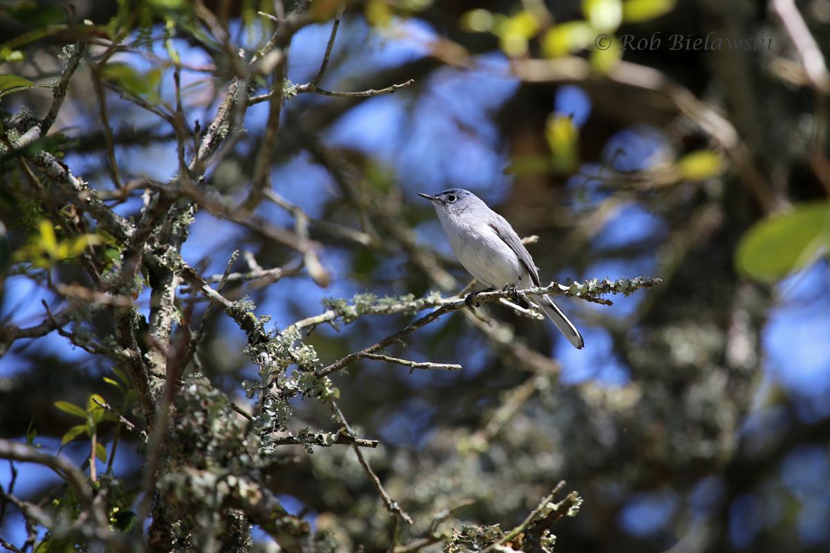 Blue-gray Gnatcatcher / 26 Apr 2014 / Back Bay NWR, Virginia Beach, VA