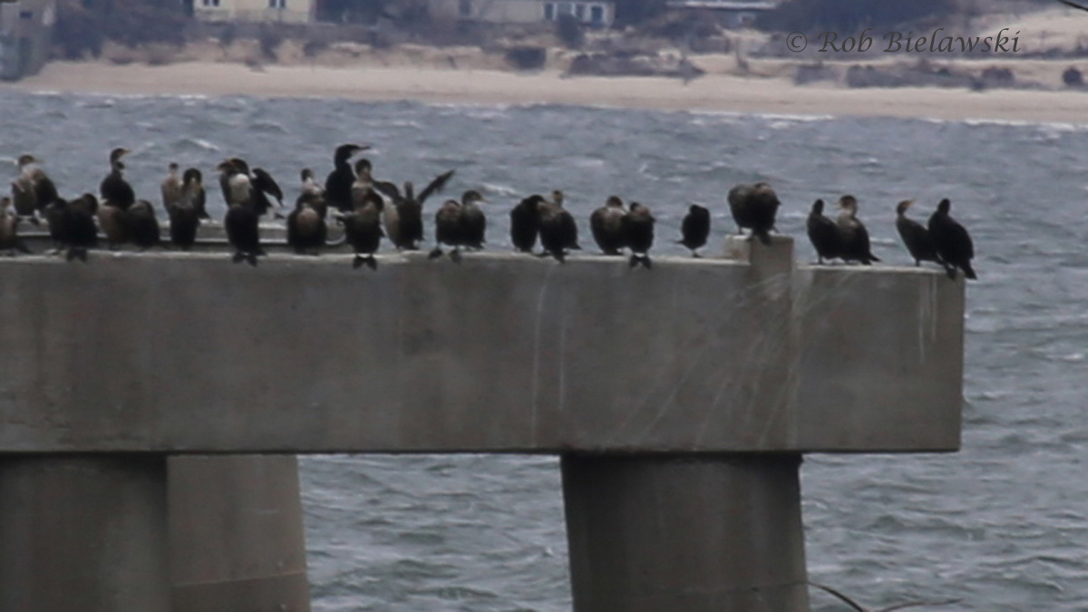 Great Cormorant (tallest bird) with Double-crested Comorants - 7 Feb 2016 - South Thimble Island, Virginia Beach, VA