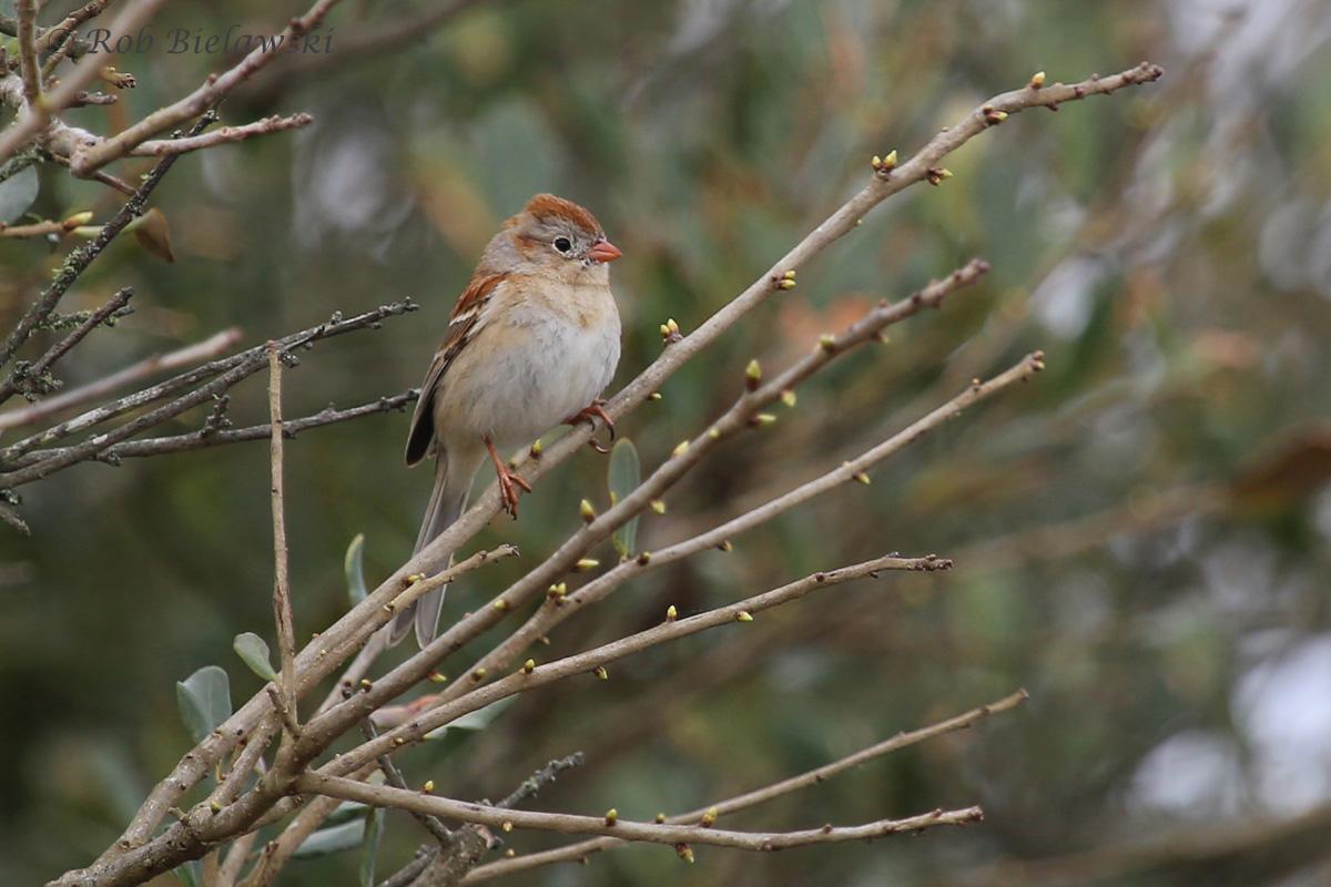 Field Sparrow / 25 Mar 2016 / Back Bay NWR