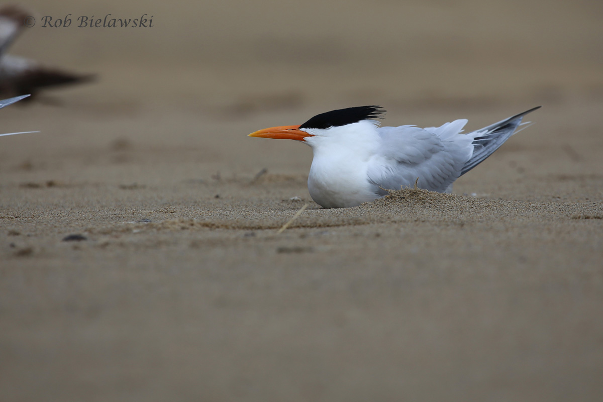 Royal Tern (FOS) / 25 Mar 2016 / Rudee Inlet
