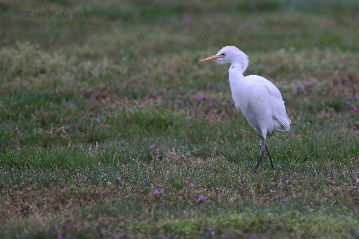 Cattle Egret (FOS) / 27 Mar 2016 / Morris Neck Rd.