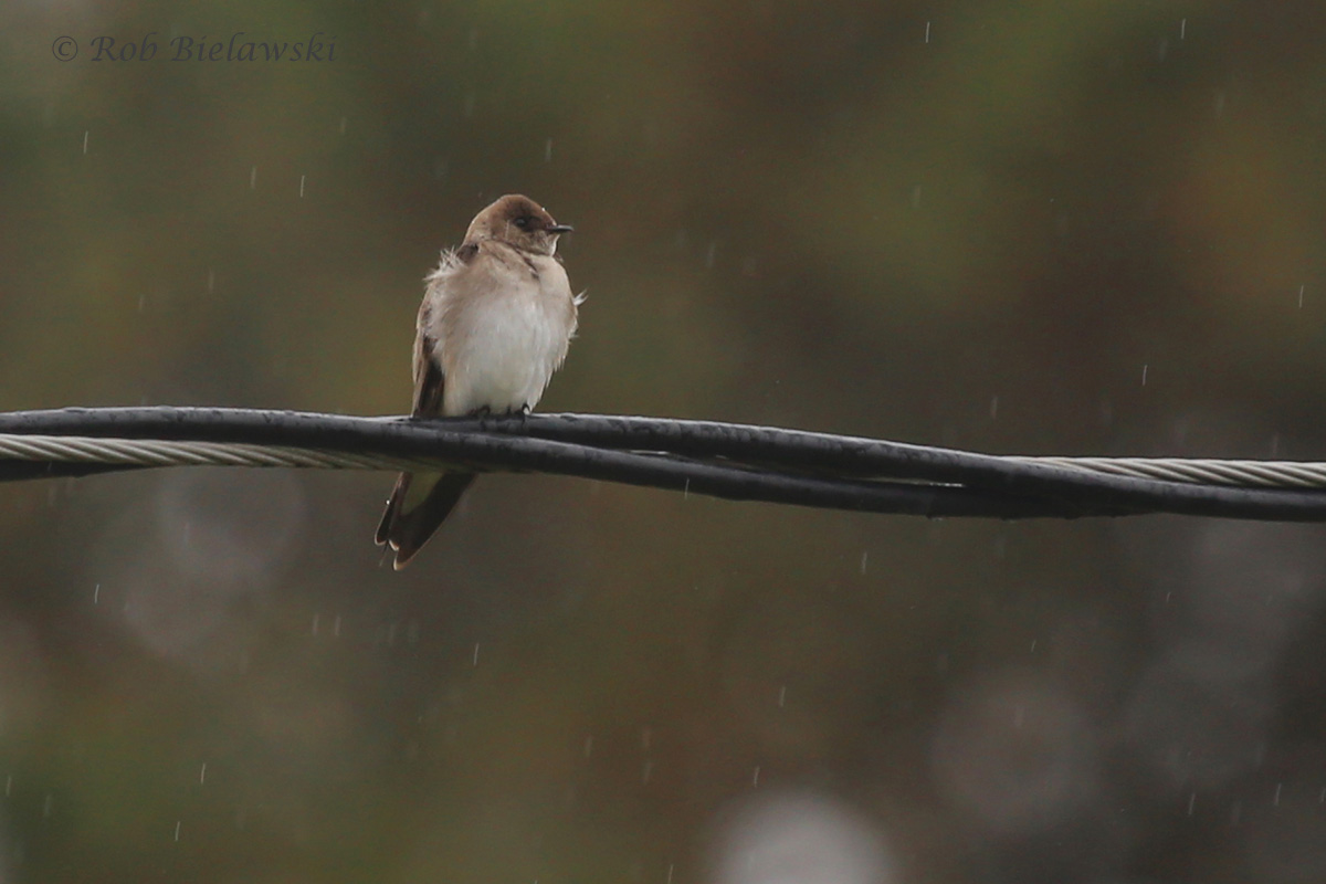 Northern Rough-winged Swallow (FOS) / 27 Mar 2016 / Back Bay Landing Rd.