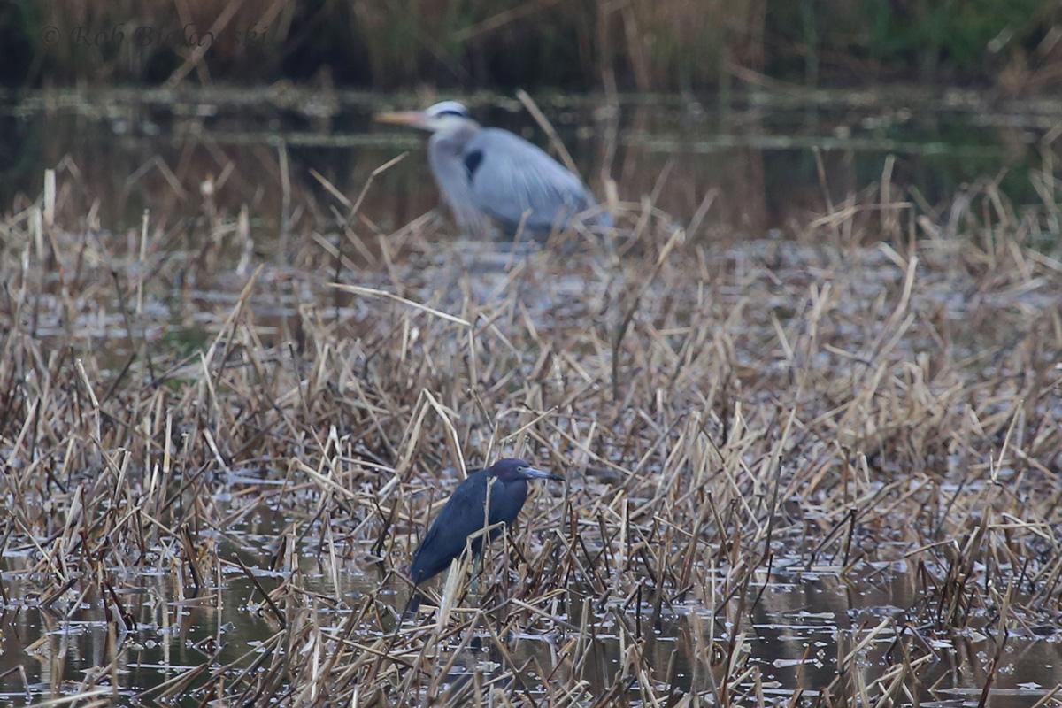 Little Blue Heron (bottom) with Great Blue Heron (top) - 27 Mar 2016 - Princess Anne WMA (Whitehurst Tract), Virginia Beach, VA
