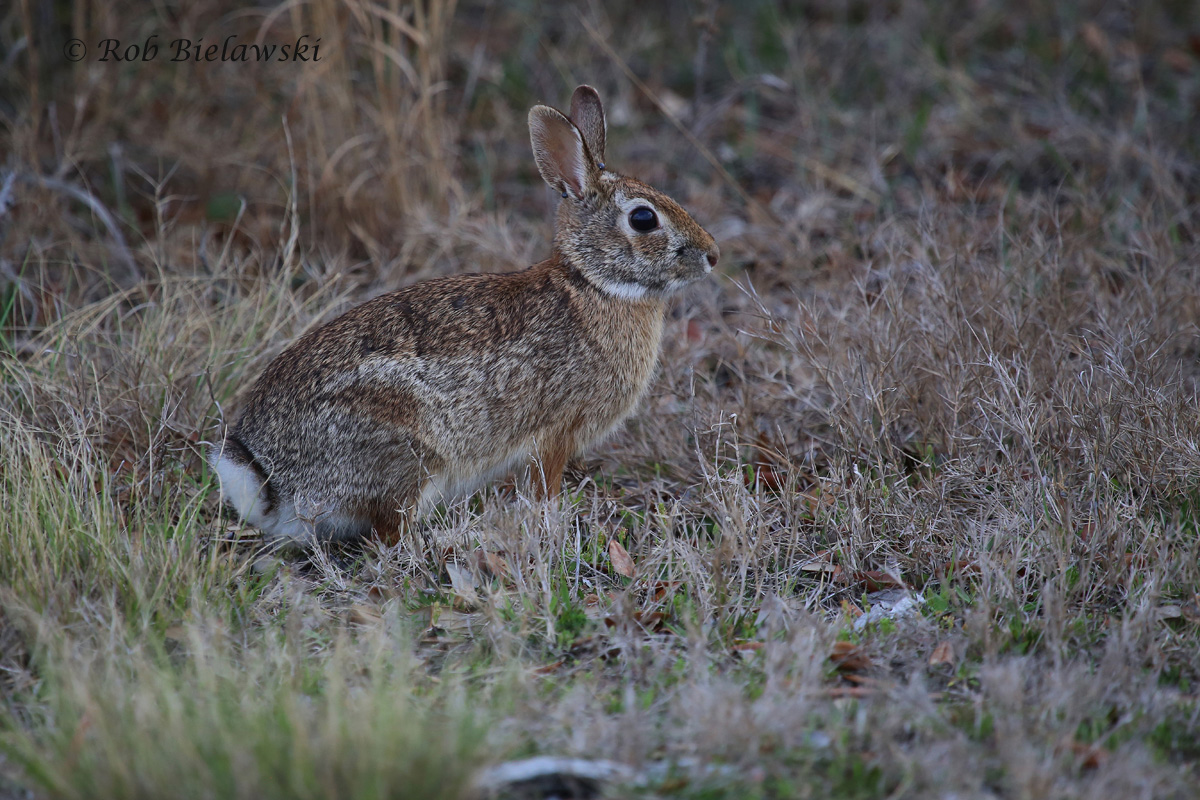 Eastern Cottontail / 25 Mar 2016 / Back Bay NWR