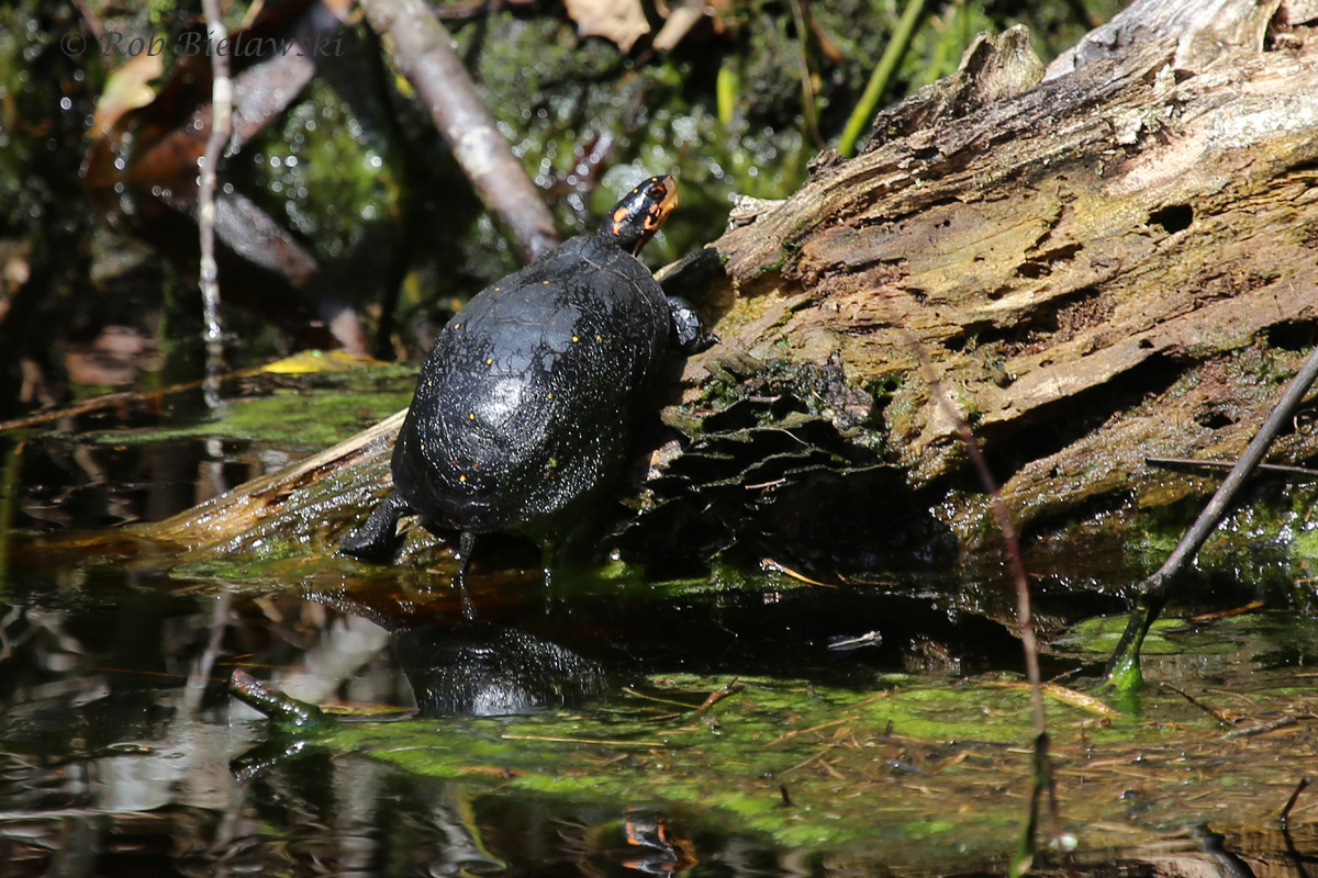 Spotted Turtle / 26 Mar 2016 / Great Dismal Swamp NWR, Suffolk, VA