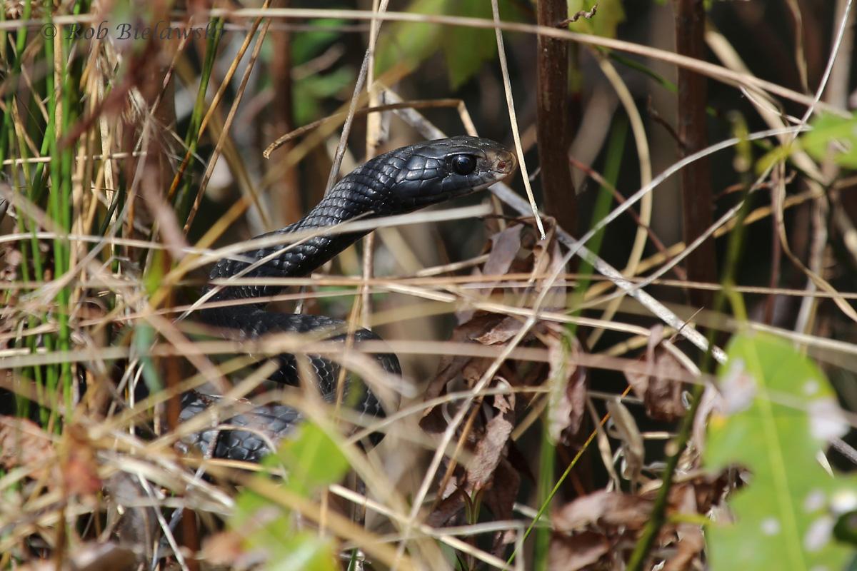 Black Racer / 26 Mar 2016 / Great Dismal Swamp NWR, Suffolk, VA