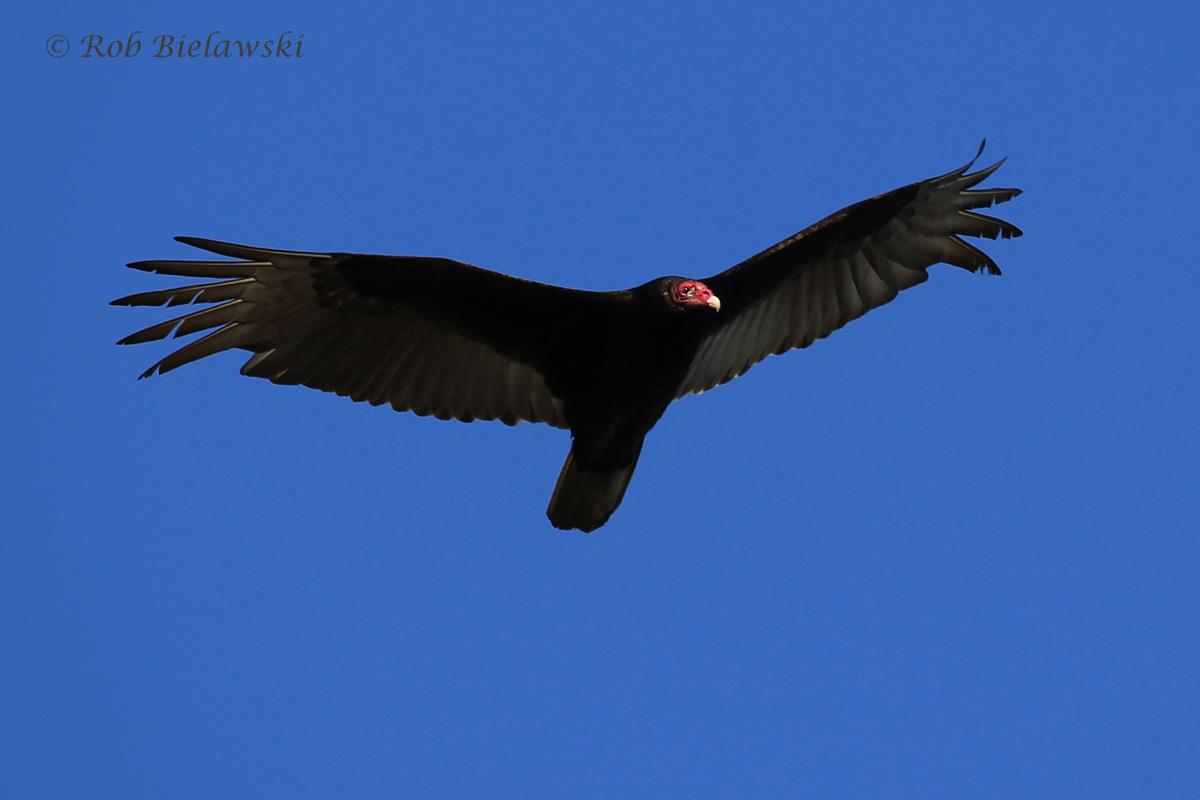 Turkey Vulture / 28 Mar 2016 / Pleasure House Point NA