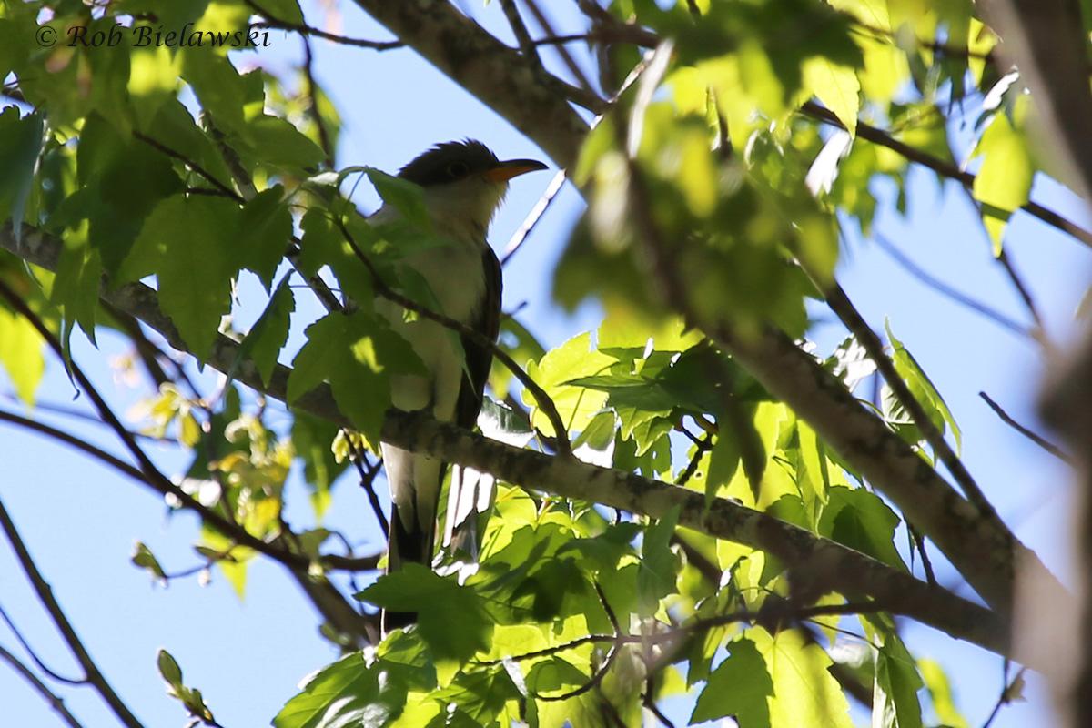 Yellow-billed Cuckoo / 3 Apr 2016 / Back Bay NWR