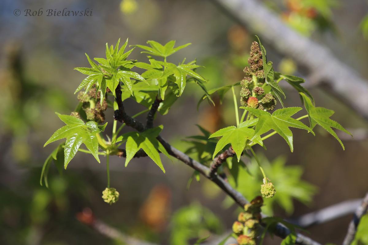 Green Foliage / 3 Apr 2016 / Back Bay NWR