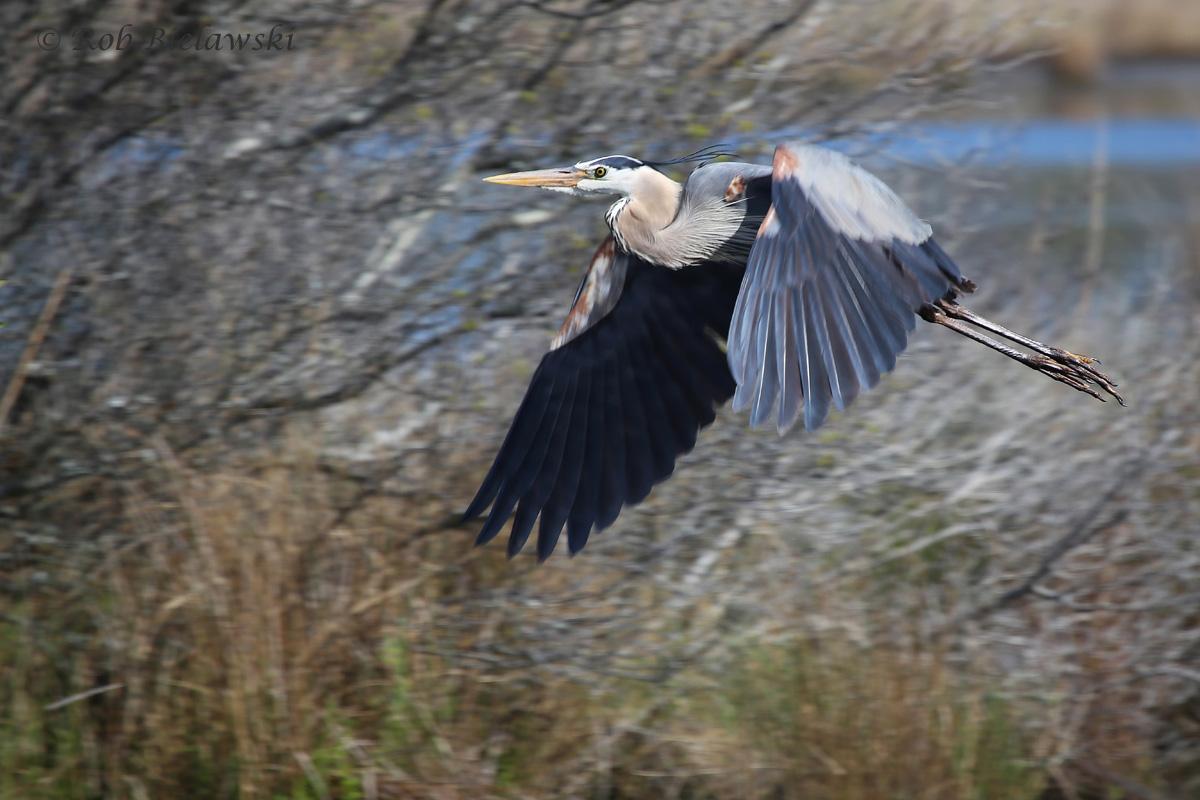 Great Blue Heron / 8 Apr 2016 / Back Bay NWR