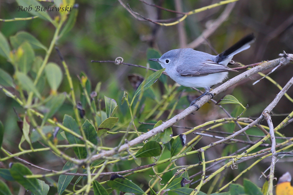 Blue-gray Gnatcatcher / 8 Apr 2016 / Back Bay NWR