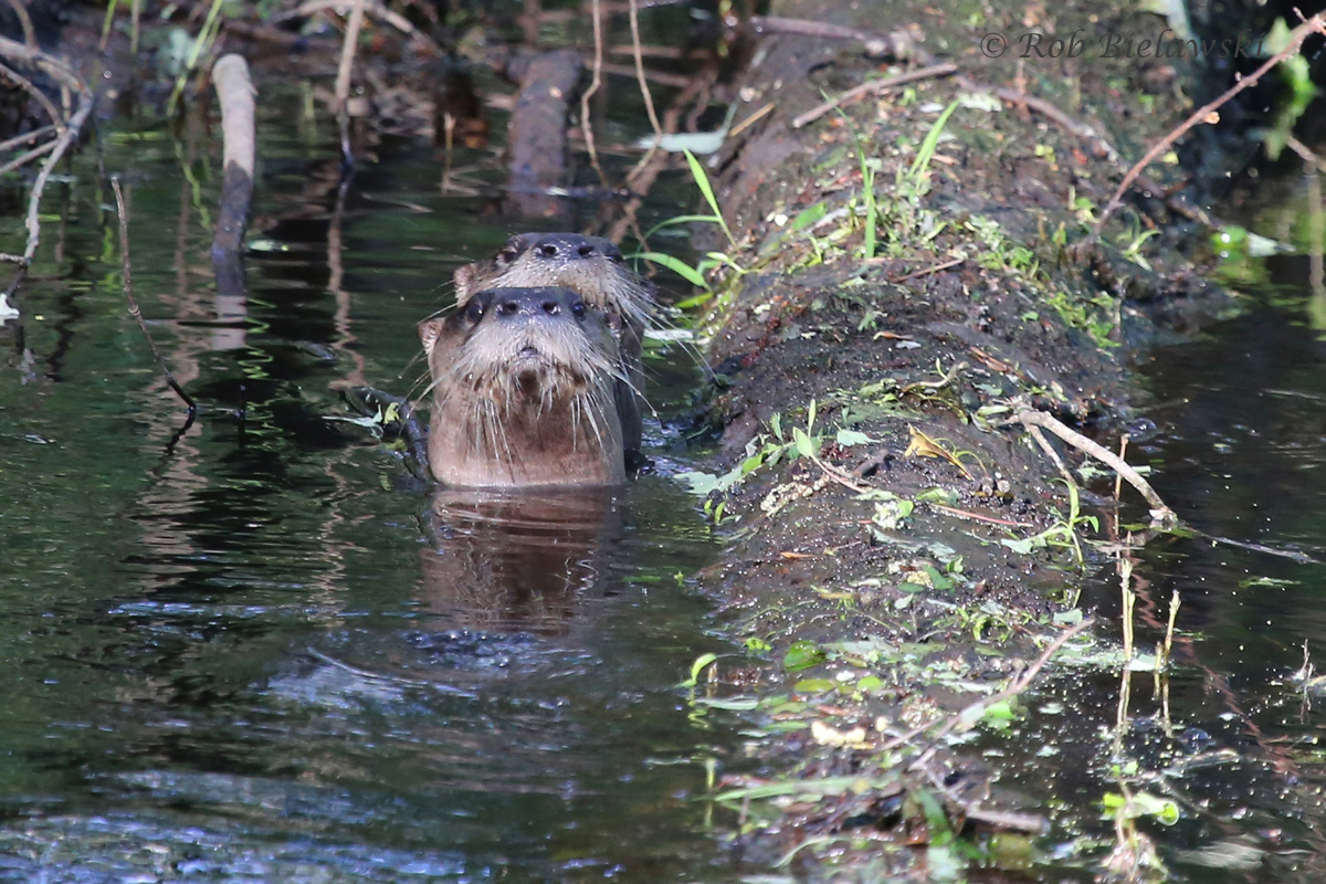 River Otters / 9 Apr 2016 / Great Dismal Swamp NWR, Suffolk, VA