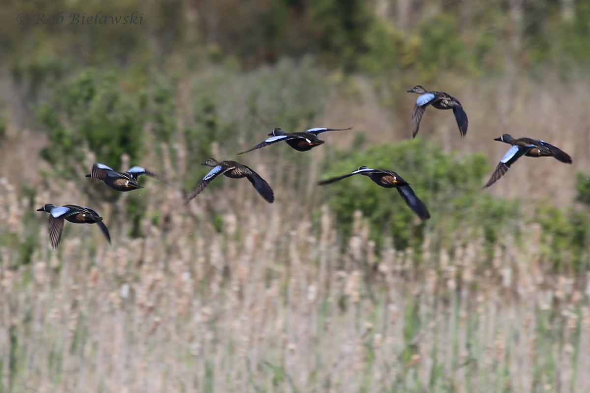 Blue-winged Teal / 10 Apr 2016 / Princess Anne WMA (Whitehurst Tract)