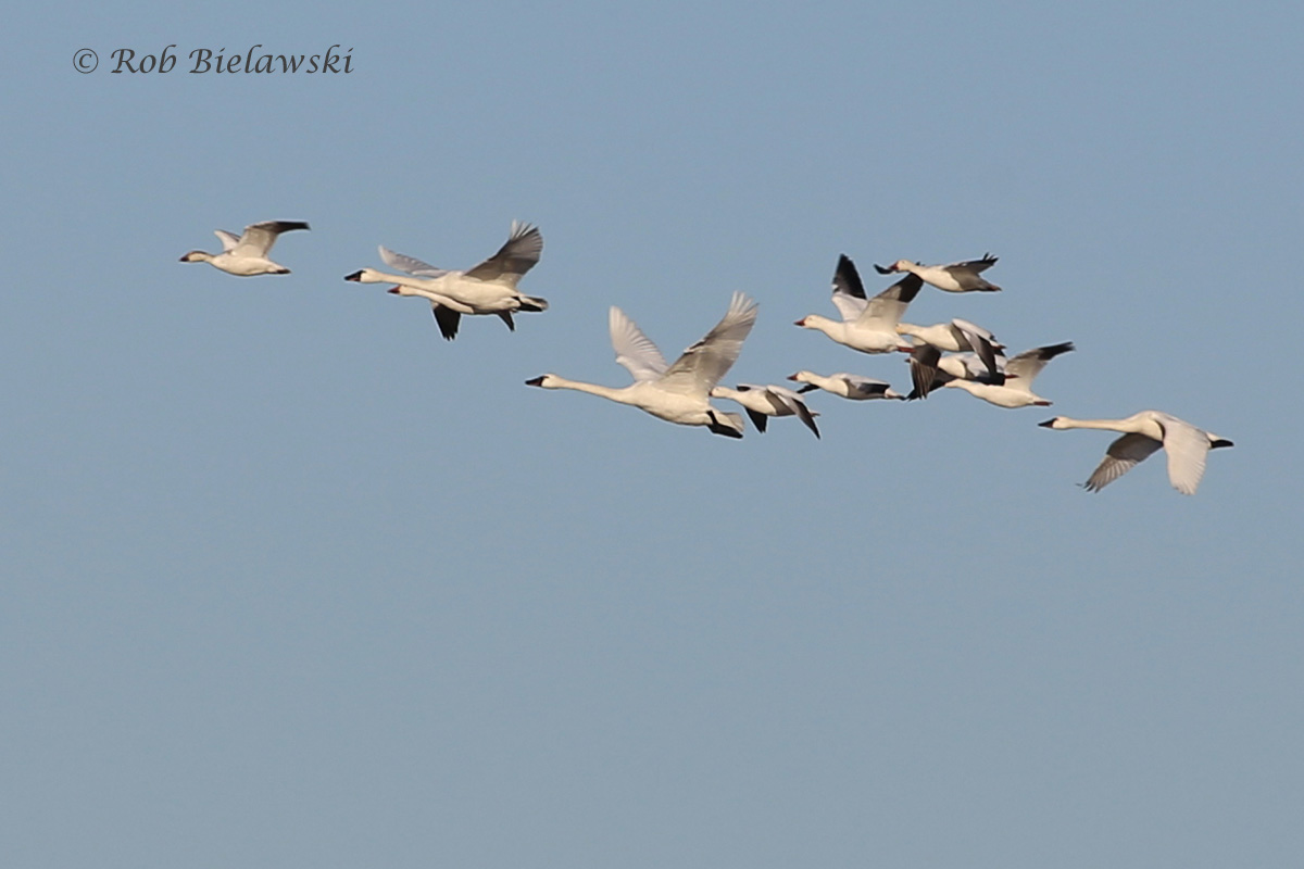 Snow Geese (smaller) with Tundra Swans (larger) - 31 Jan 2016 - Back Bay NWR, Virginia Beach, VA