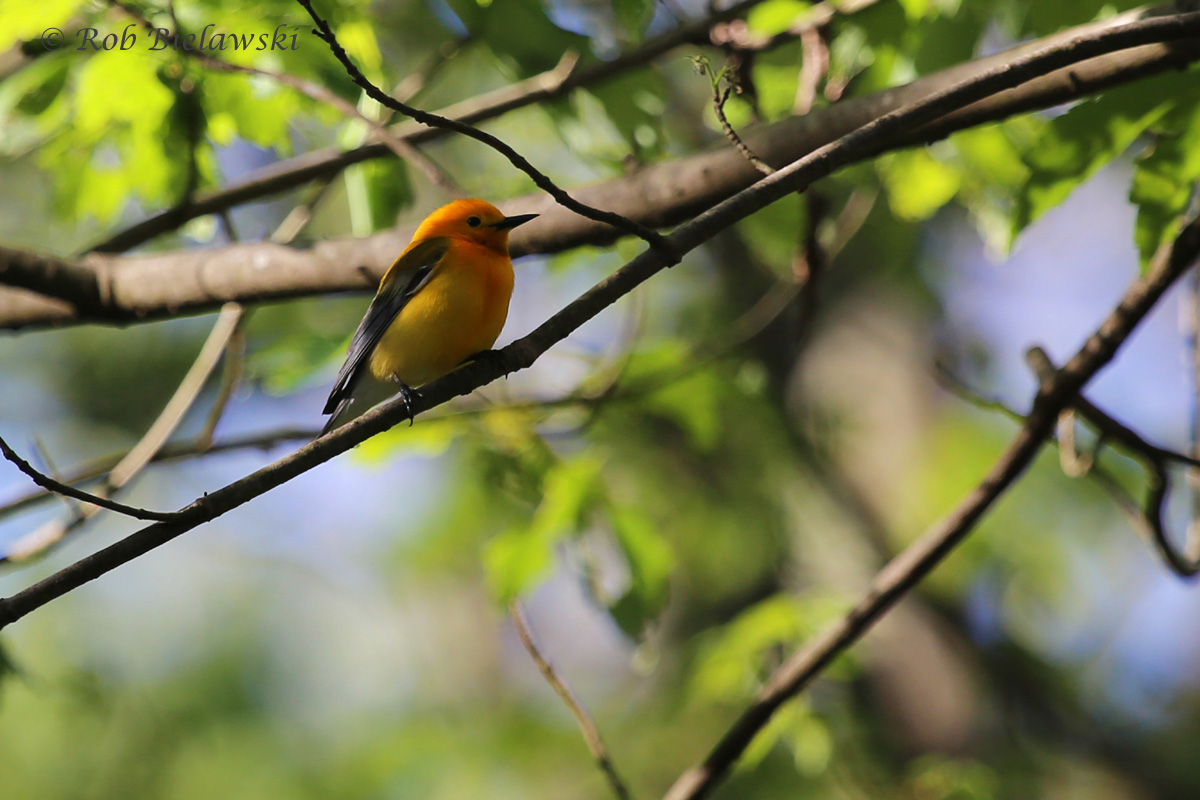 Prothonotary Warbler / 16 Apr 2016 / Great Dismal Swamp NWR, Suffolk, VA