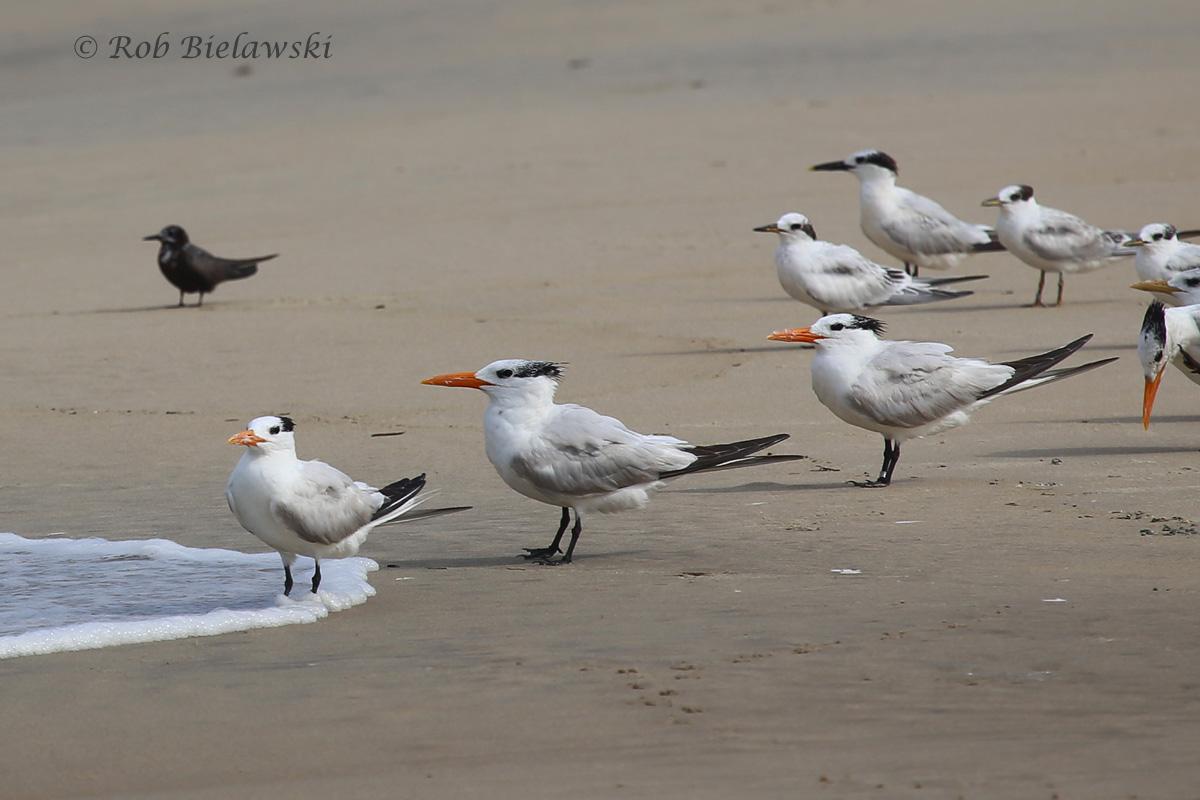 Black Tern & Royal Terns