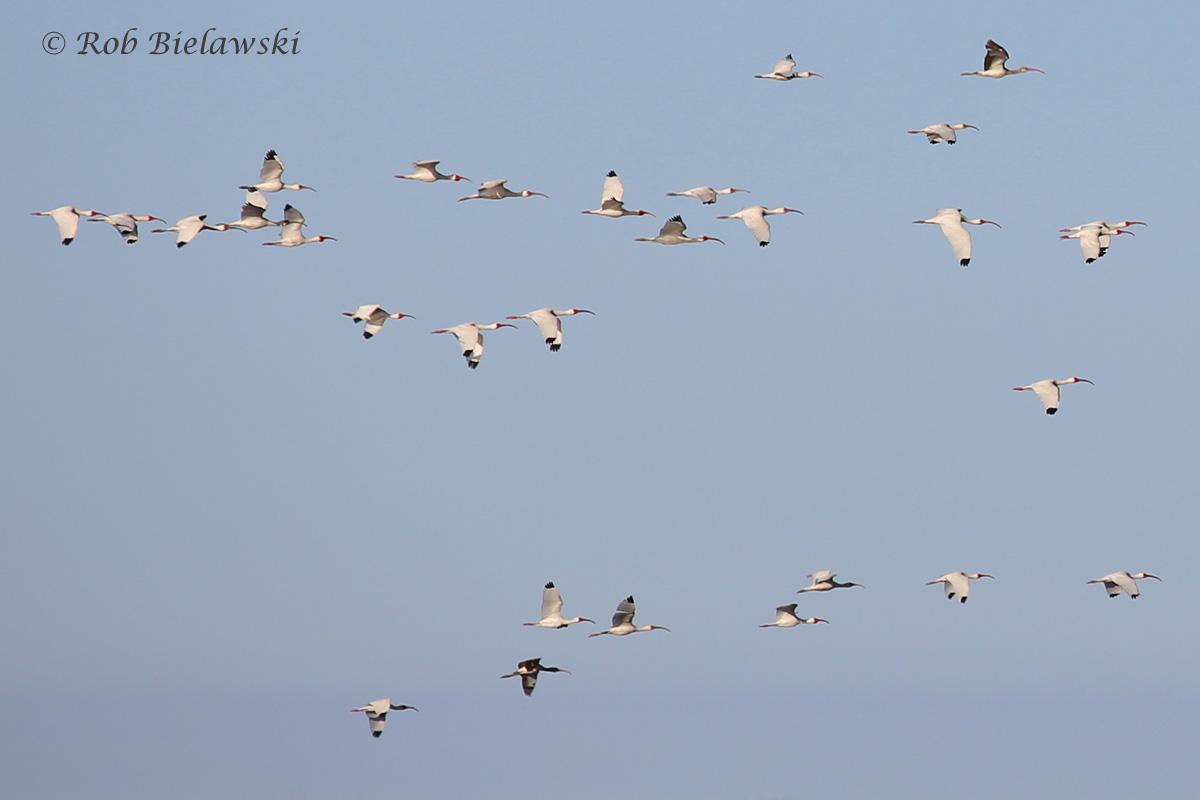 White Ibis / 20 Apr 2016 / Back Bay NWR