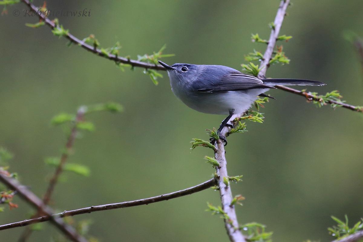Blue-gray Gnatcatcher / 22 Apr 2016 / Stumpy Lake NA