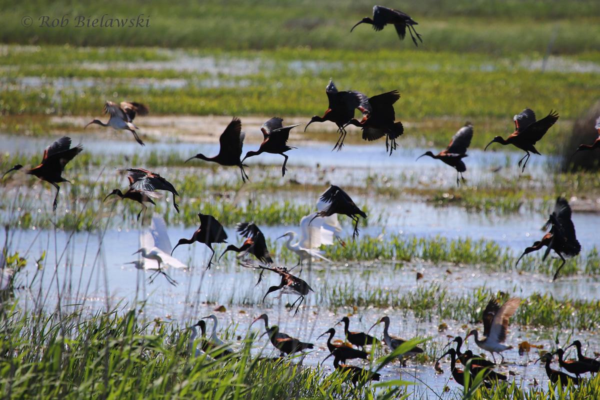 Glossy Ibis & Snowy Egrets / 24 Apr 2016 / Back Bay NWR