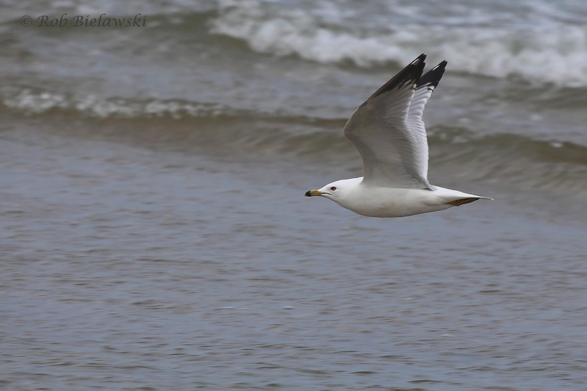 Adult Ring-billed Gull in flight!