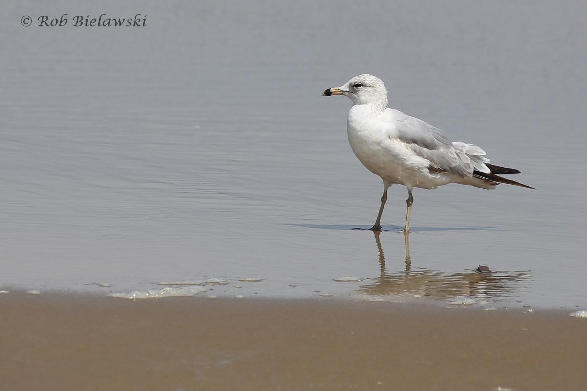 8). Ring-billed Gull