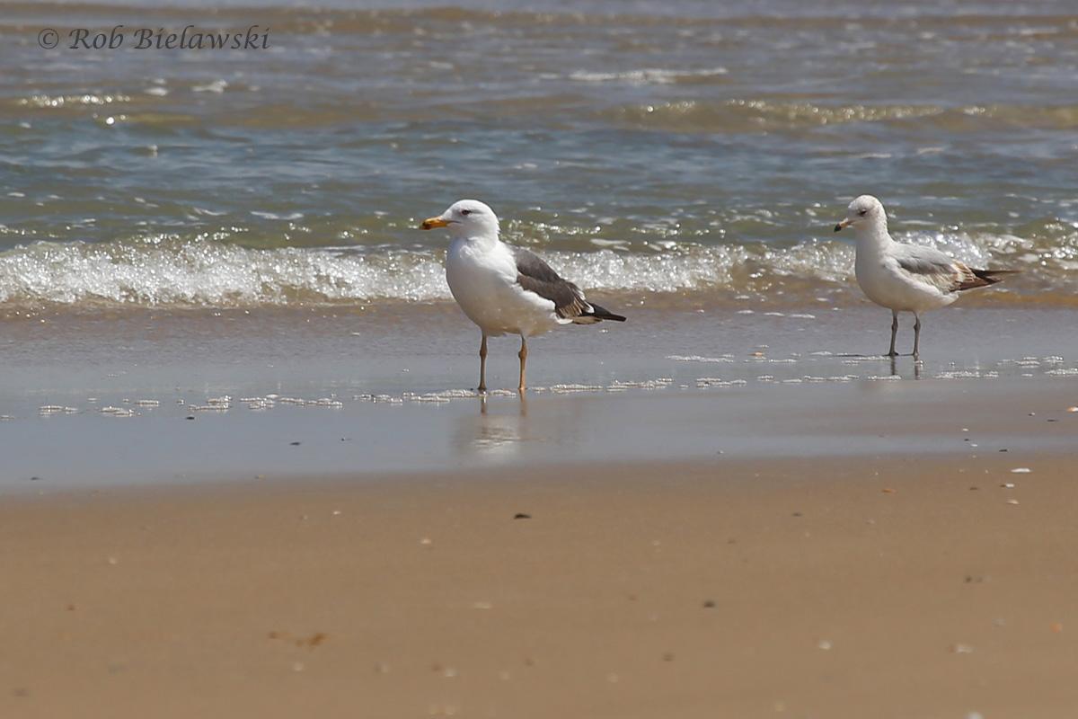 10). Lesser Black-backed & Ring-billed Gulls