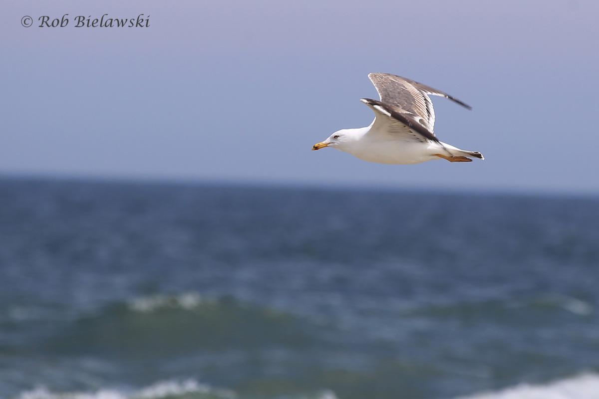 11). Lesser Black-backed Gull