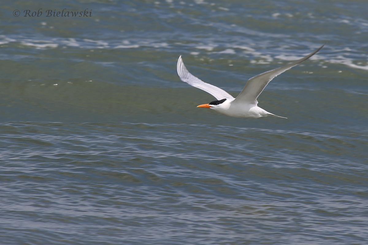 12). Royal Tern