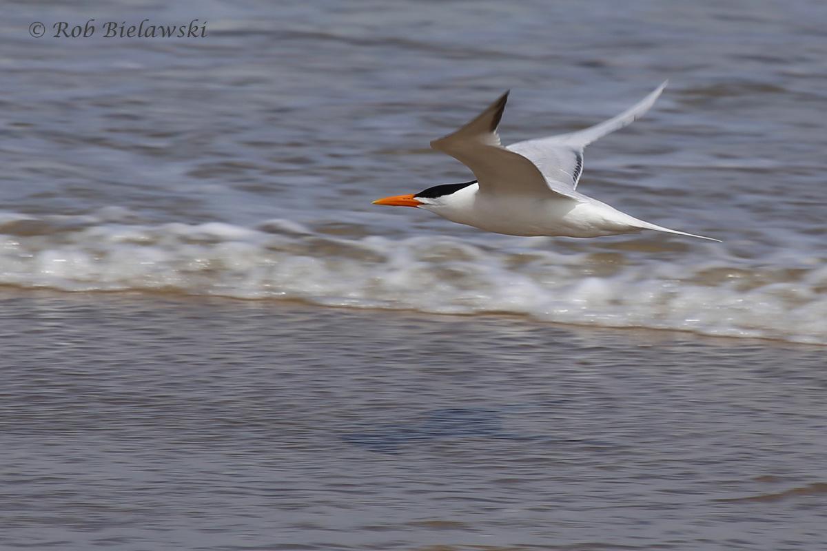 14). Royal Tern