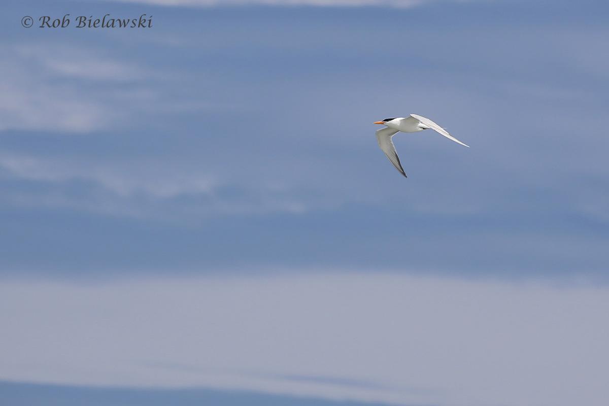 15). Royal Tern