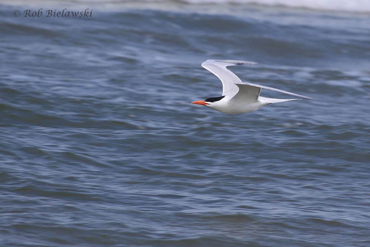 18). Royal Tern