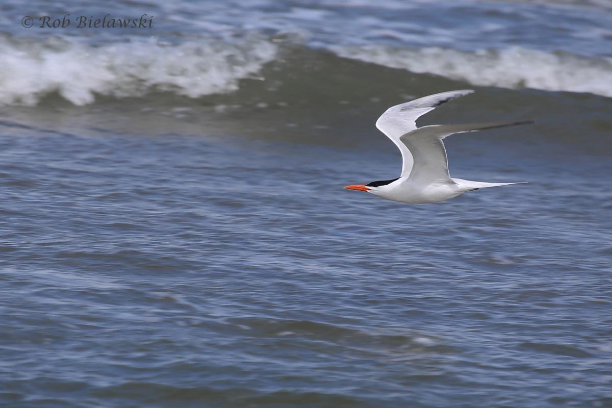 19). Royal Tern
