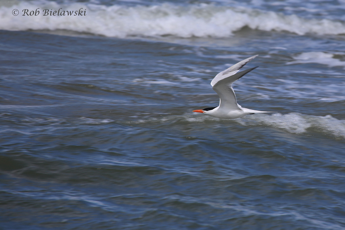 20). Royal Tern