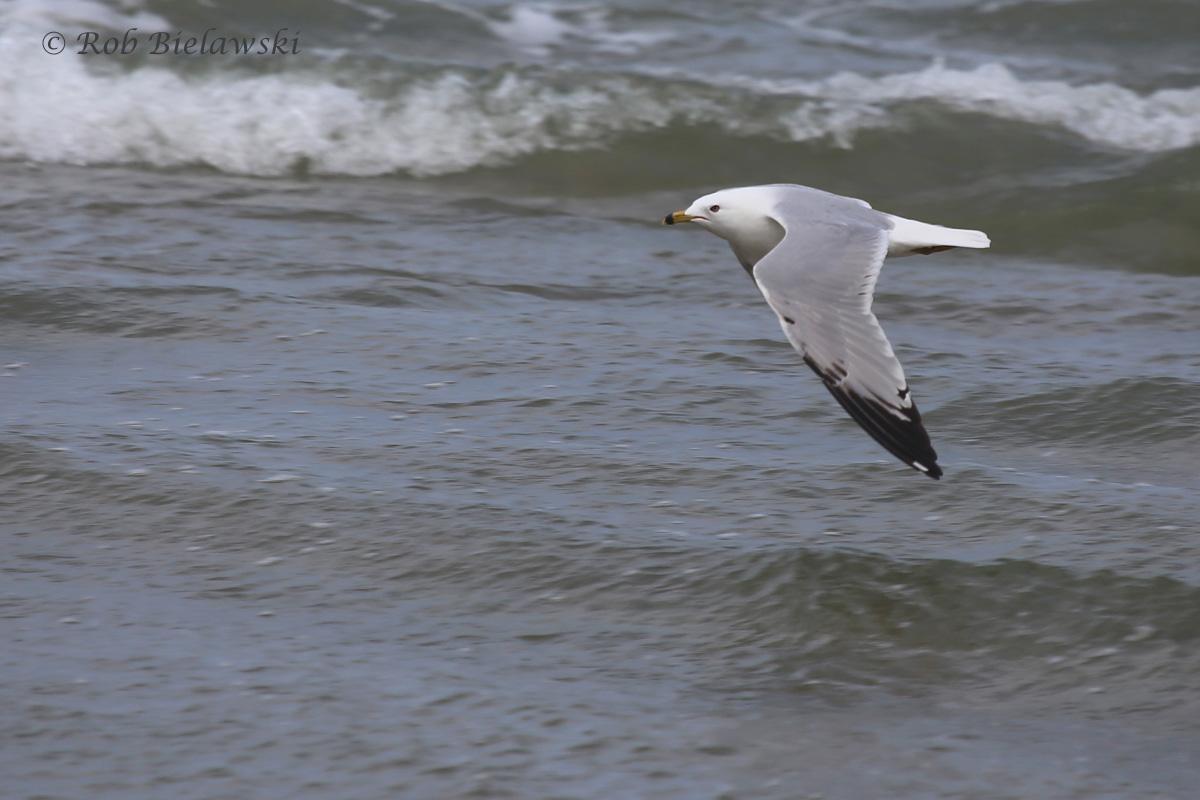23). Ring-billed Gull