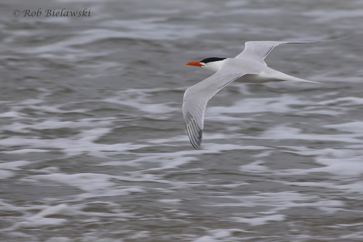 25). Royal Tern