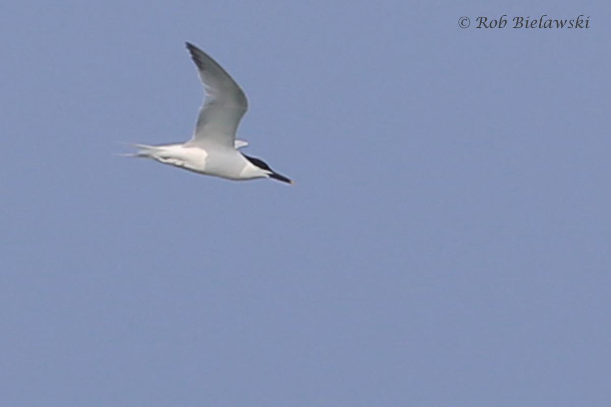 28). Sandwich Tern