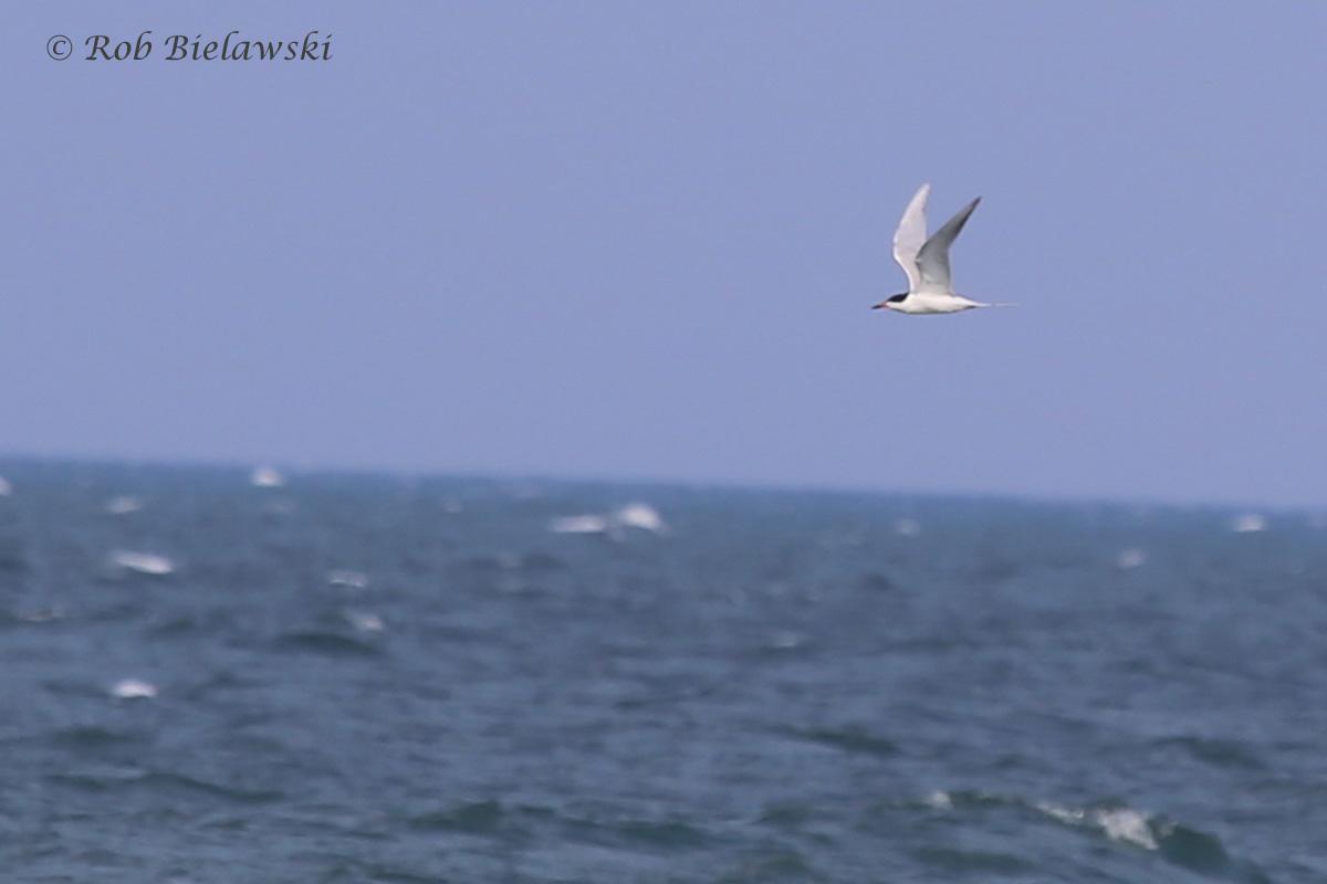 32). Forster's Tern