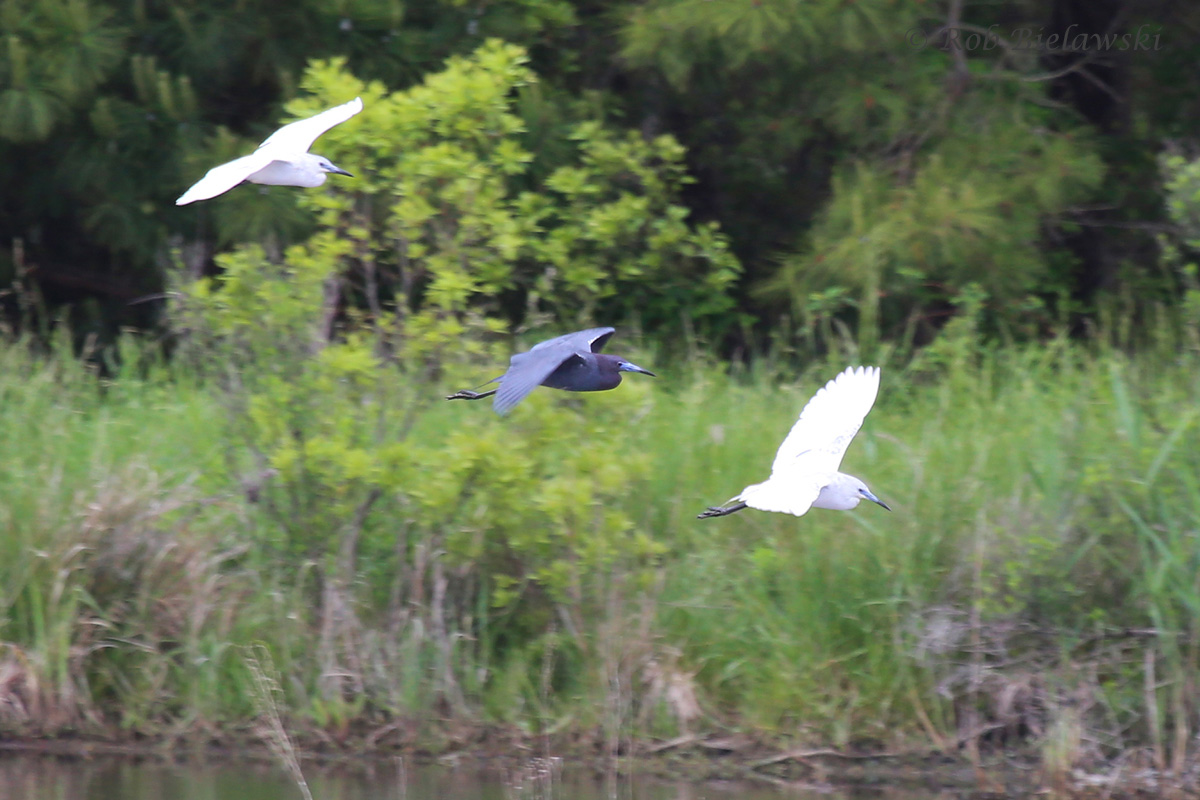 Little Blue Heron Adult & Immatures / 1 May 2016 / Princess Anne WMA (Whitehurst Tract)