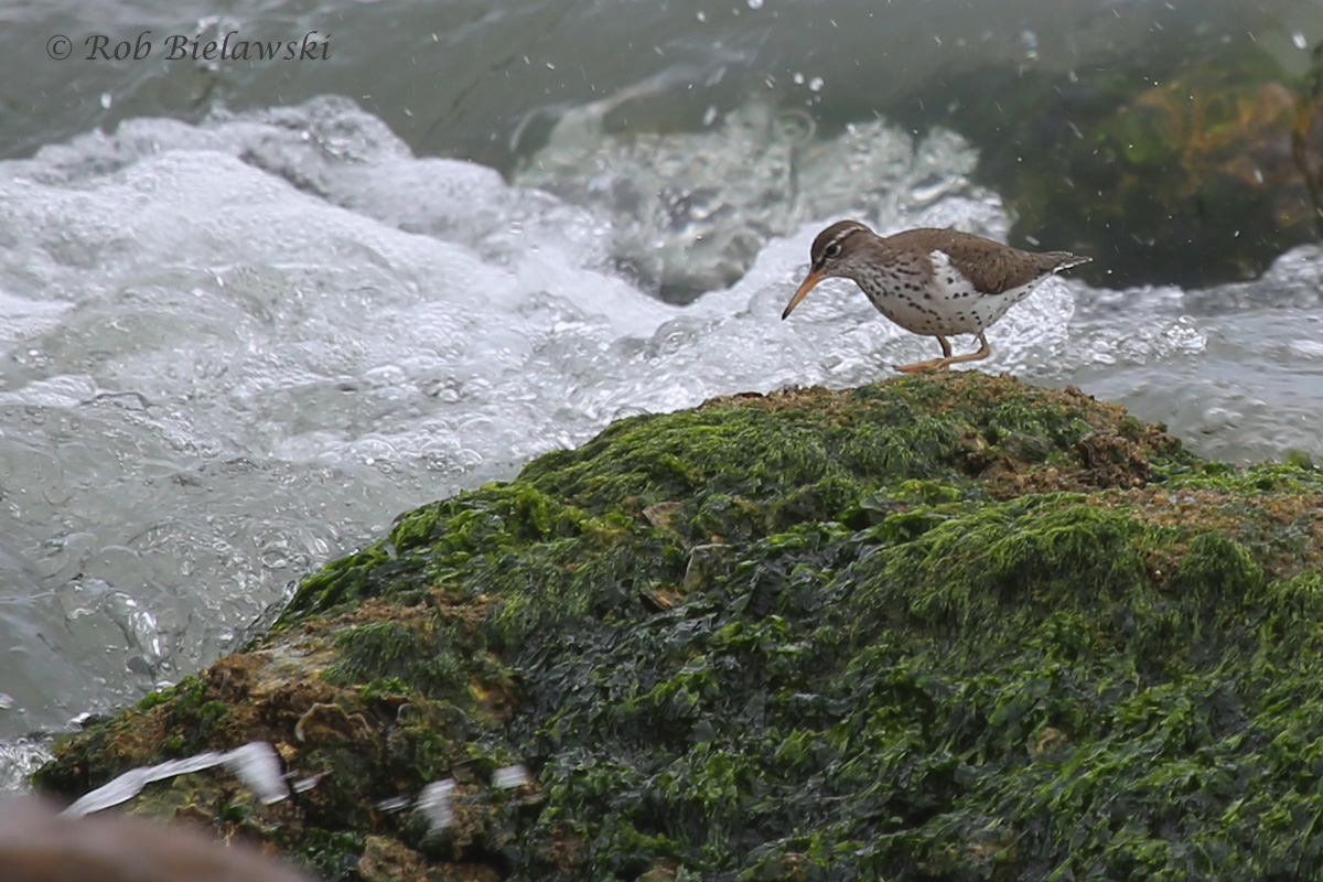 Spotted Sandpiper / 1 May 2016 / Rudee Inlet