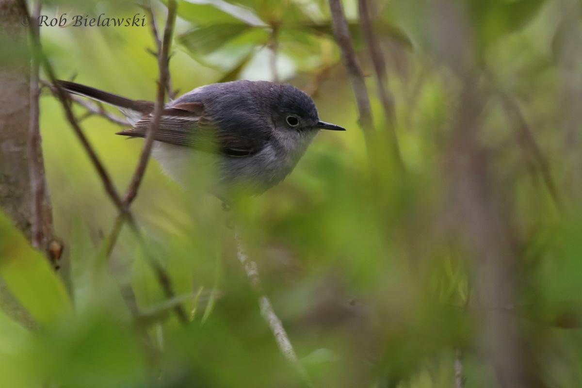Blue-gray Gnatcatcher / 1 May 2016 / Princess Anne WMA (Whitehurst Tract)