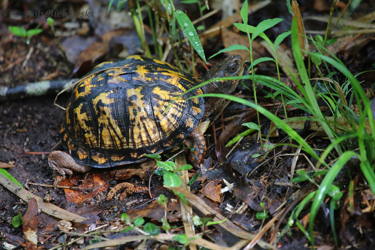 Eastern Box Turtle / 3 May 2016 / Red Wing Park
